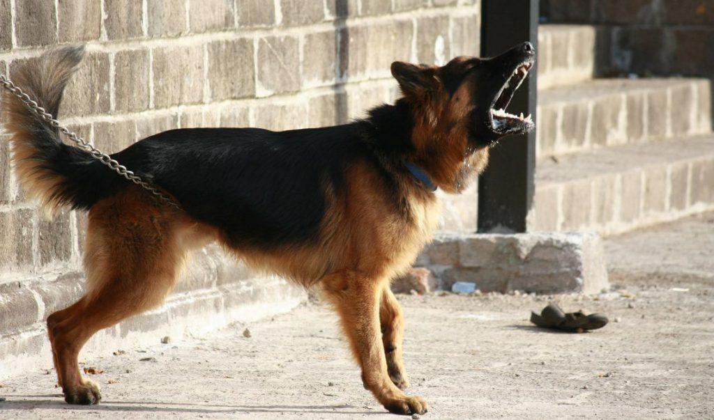 Aggressive Behavior in German Shepherds