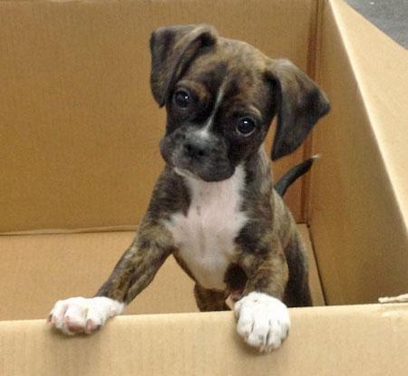 Mini Boxer