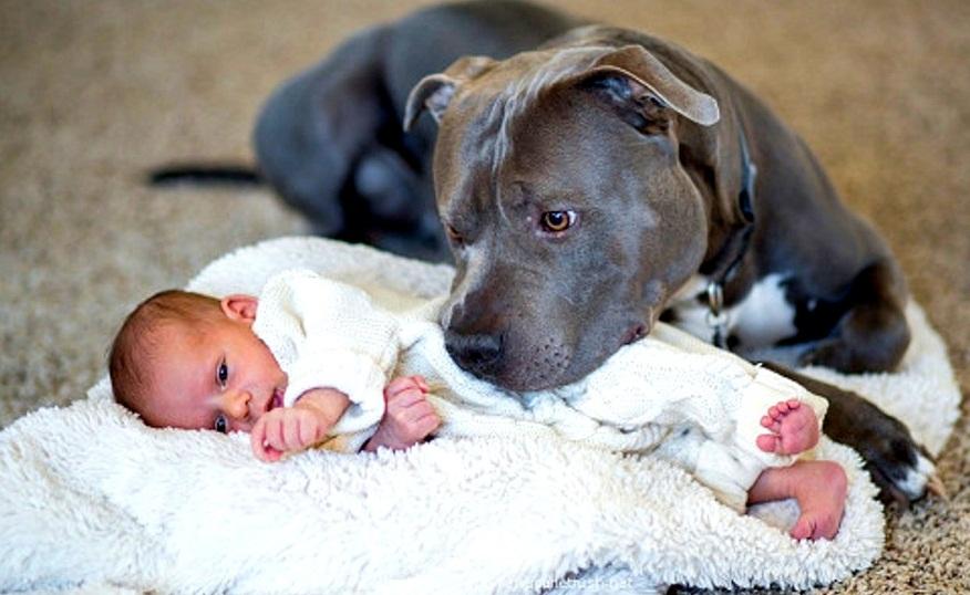 Are Babies and Pitbulls a Good Mix