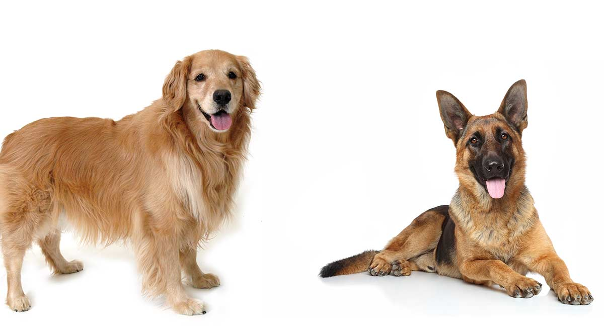 Golden Retriever And German Shepherd Training Differences