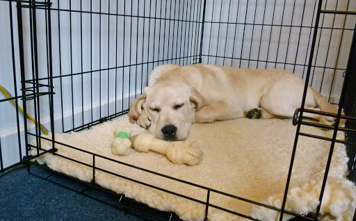 How To Crate Train Your Labrador Puppy