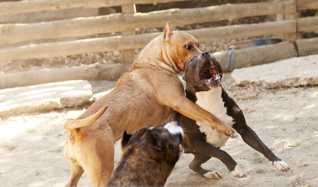Underground Dog Fights