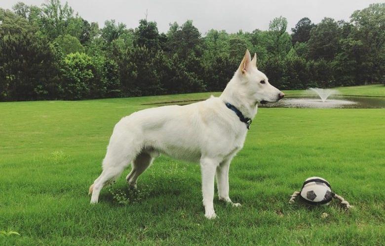 White Shepherd Puppy Training Tips