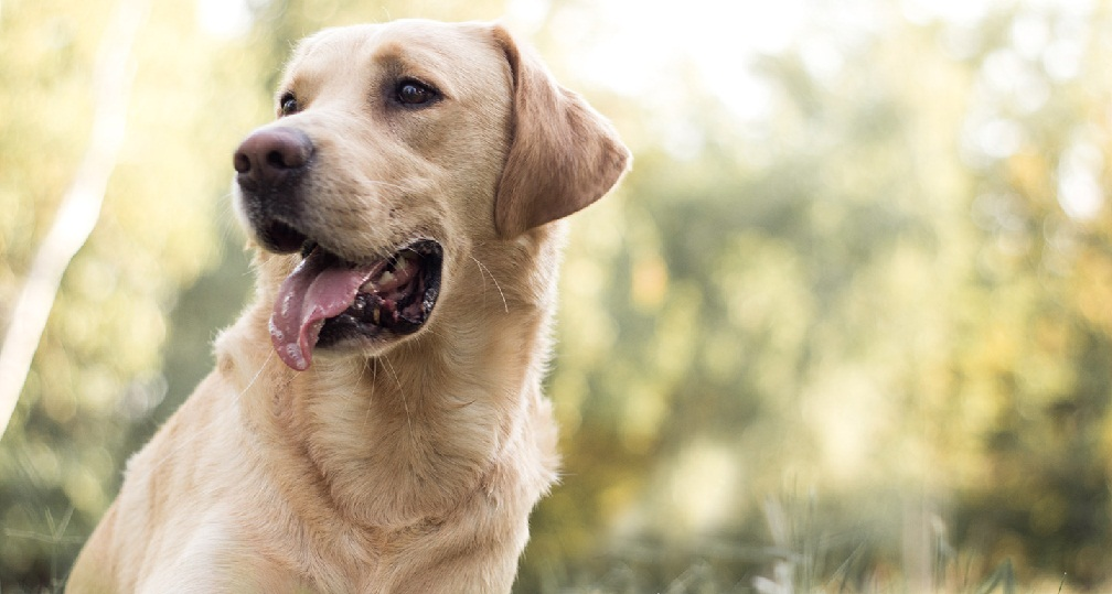 Your Labrador's Well Being